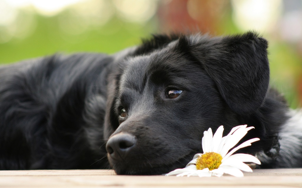 Homéopathie pour chien