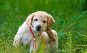 anti puce naturel pour chien