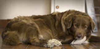 arthrite chez le chien