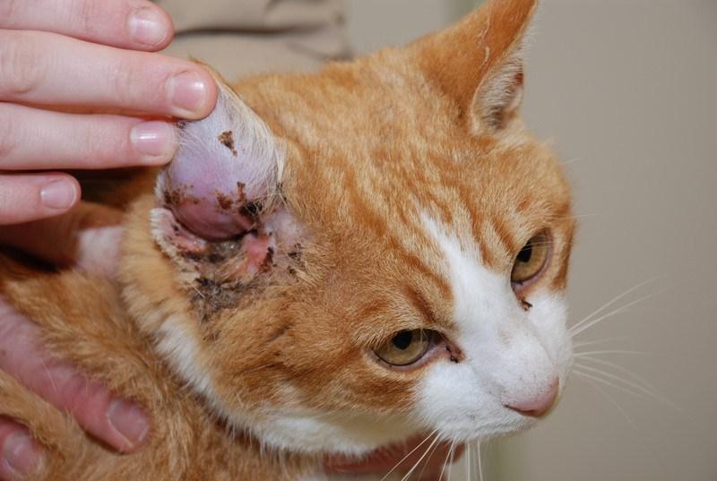 chat avec la gale des oreilles