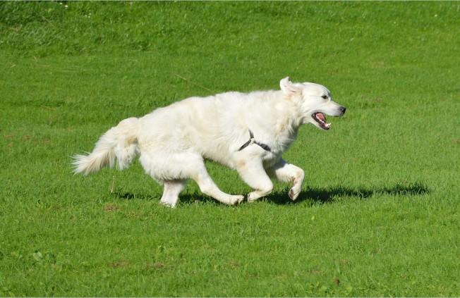 chien qui cout avec de l'arthrite