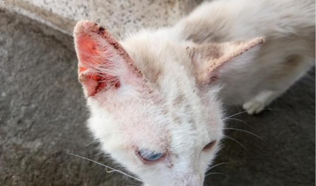 galle des oreilles chat