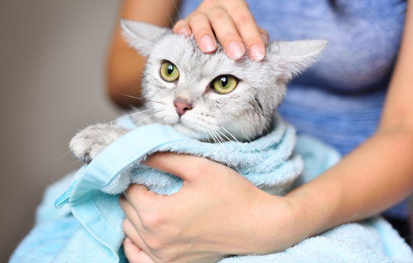 laver le chat pour lutter contre les puces