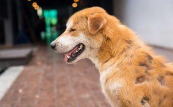 perte du poil chez le chien remede naturel