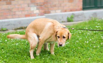 remèdes naturels pour la diarrhée chez le chien