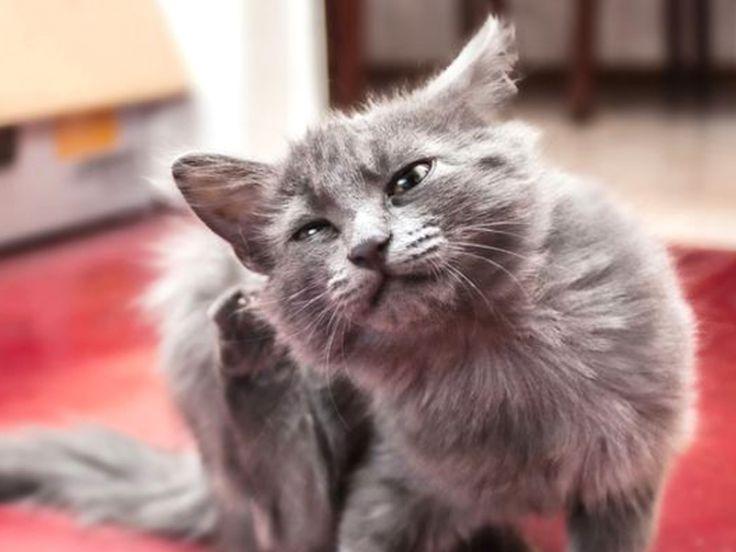 traitements naturels allergie chez le chat