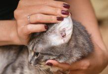 traitements naturels gale des oreilles chat