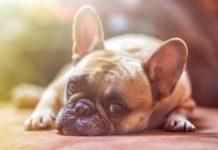 vermifuge naturel pour le chien