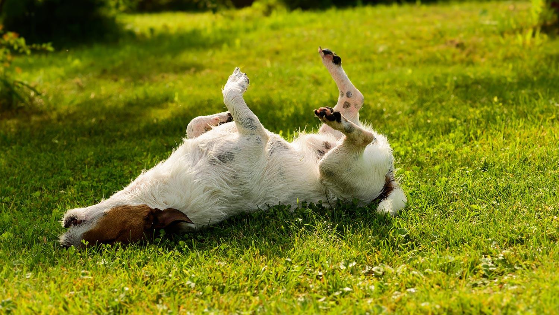 chien se gratte dans l'herbe