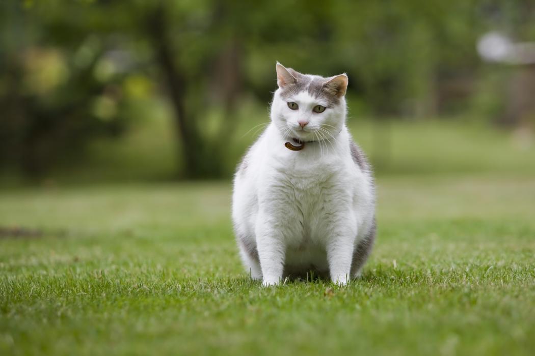 obesité du chat